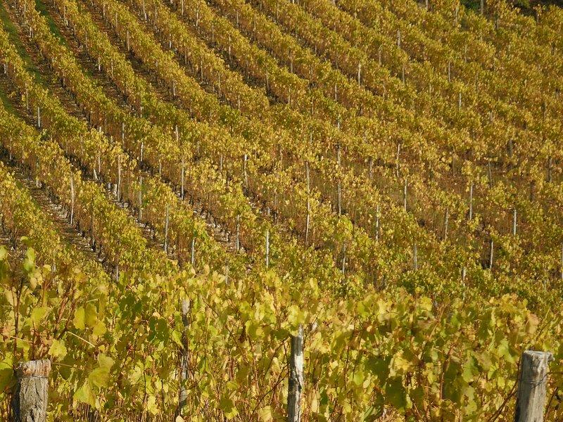 vineyard of Savoie in autumn