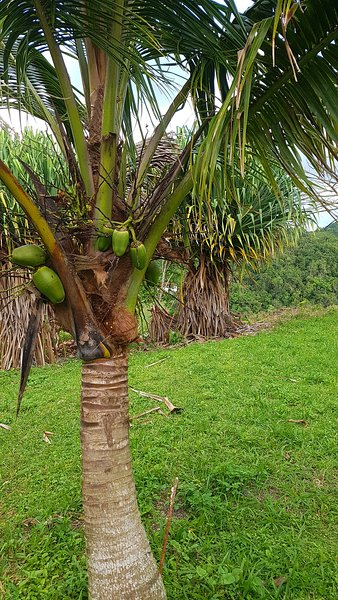 Jeunes noix de coco sur un cocotier