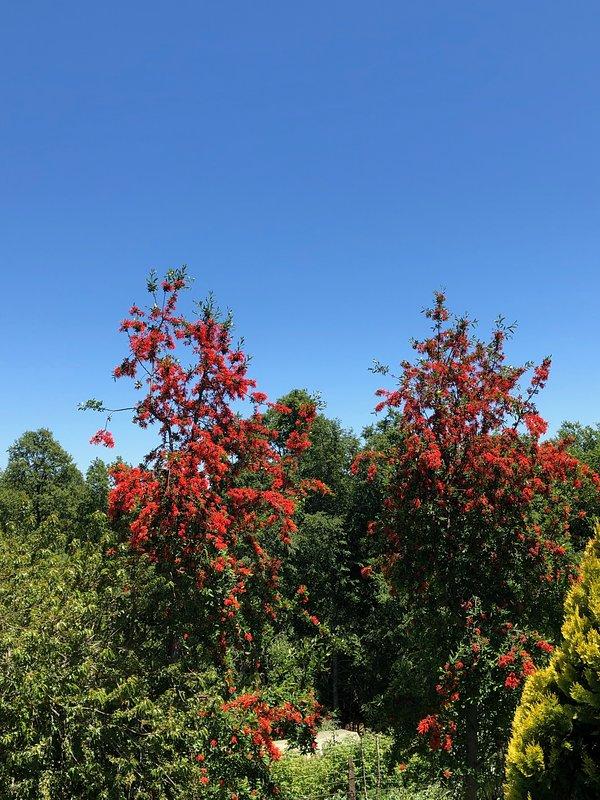 View of Notros in bloom from front door of Amor del Lago