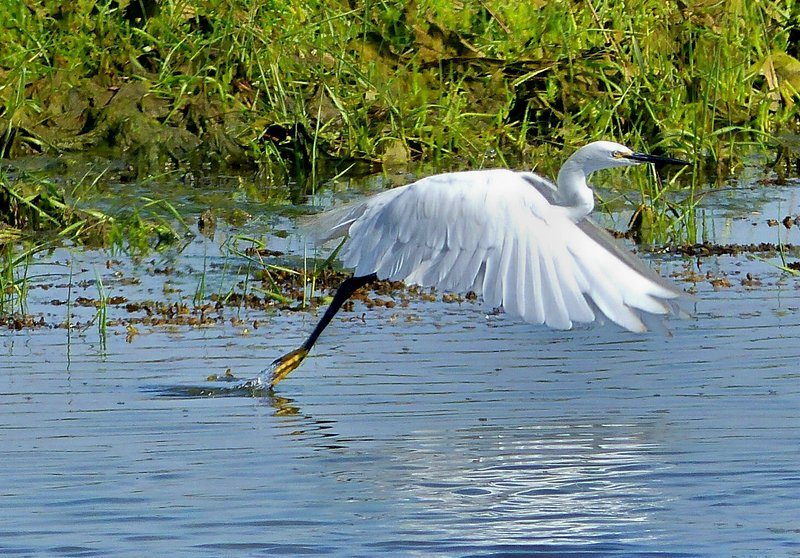 Little Egret taking flight on our local nature reserve