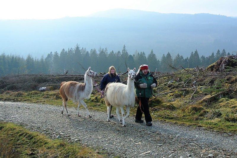 LLama de trekking en Black Rock Llamas