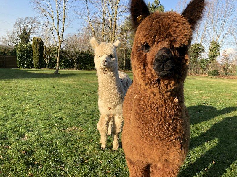 2 of 4 Alpacas - Hector and Pedro