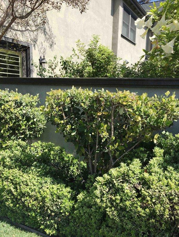 Hermoso árbol de trompeta doble ángel y exuberantes jardines y paisajes