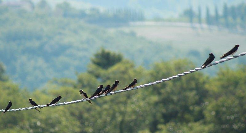 Swallows in spring in the garden of Vignano40