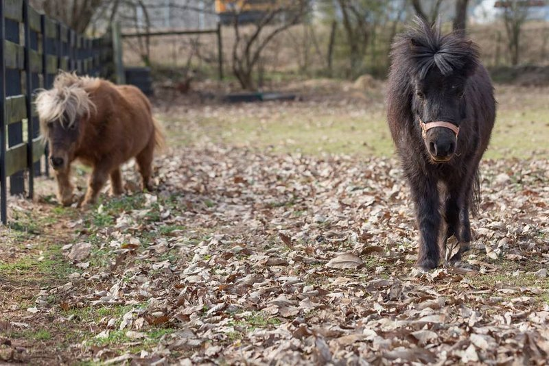 This is 'Bear' & 'Scooter' our miniature horses they love our guests