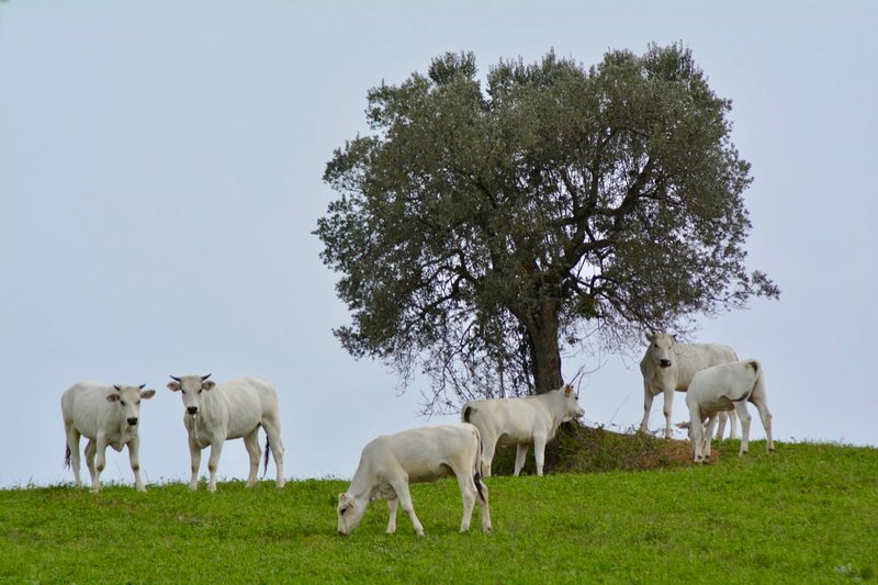 Chianina Beef cattle Castle of Montegiove