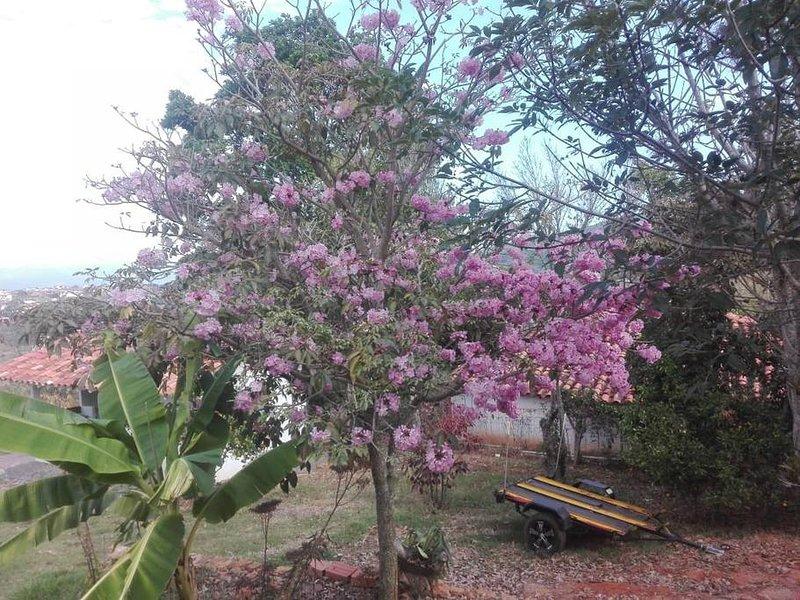 Blooming 'Guayacan' tree