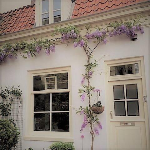 In de lente-zomer bloeit onze Wysteria magnifiek, en voegt een extra mate van charme toe!