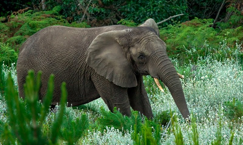 A rare view of one of the Knysna elephants roaming in the forests.