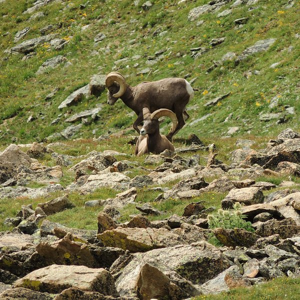 These boys are often seen in Rocky Mountain National Park.