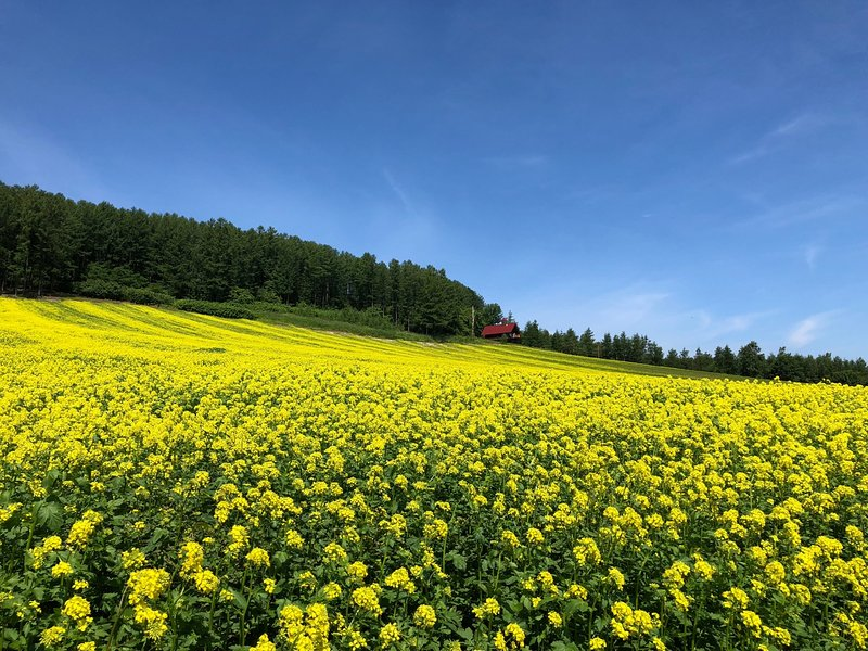 Rape field and 'SAKURANO'