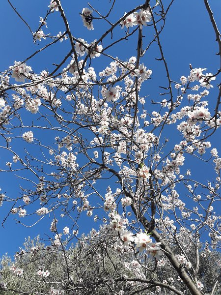 Almond blossom in January.
