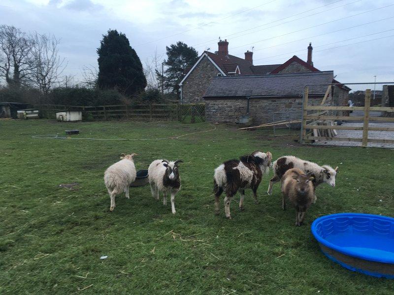 Conoce a la oveja Soay