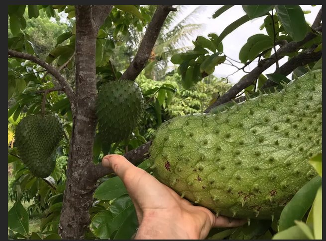 Soursop is one of the exotic tropical fruits on site. Taste like pear meets pineapple. Yummy!