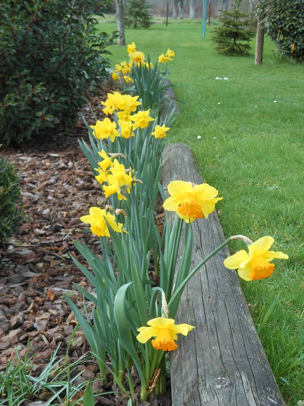 Border of narcissus in the garden.