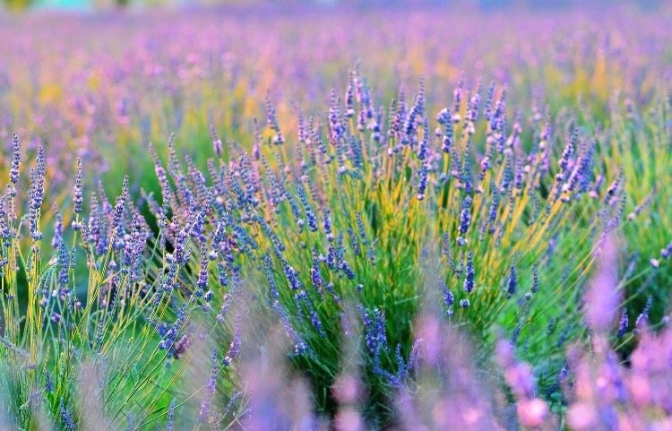 Surround yourself with 12,000 lavender plants
