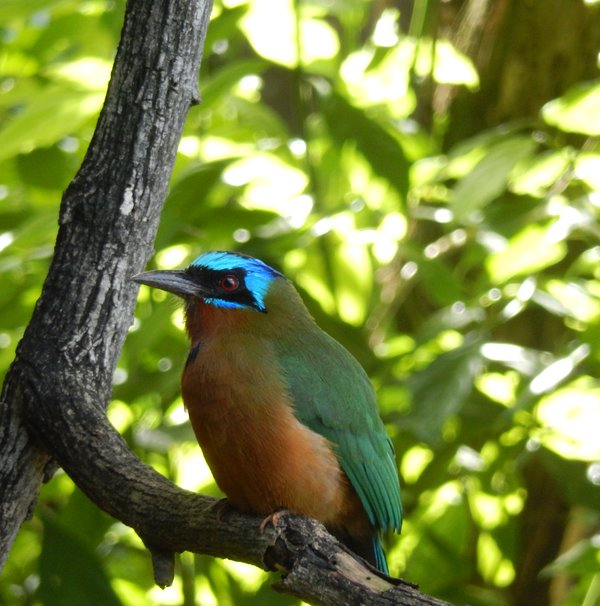 The MotMot is a regular visitor. We have a nesting pair that visit daily!