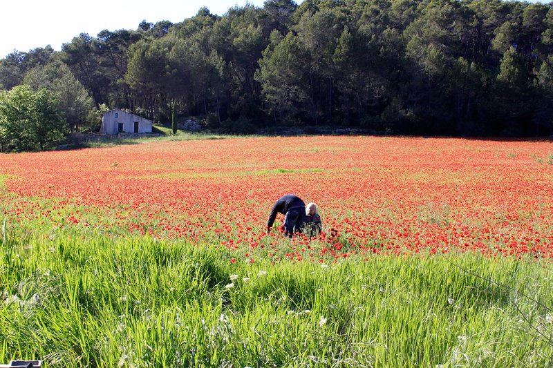 Field of poppies near Flayosc