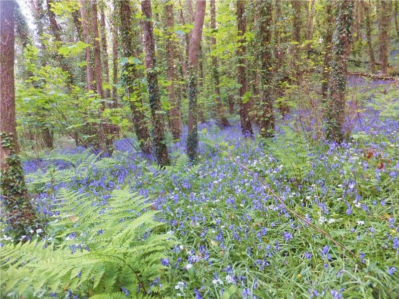 Bluebells en mai dans les forêts locales.