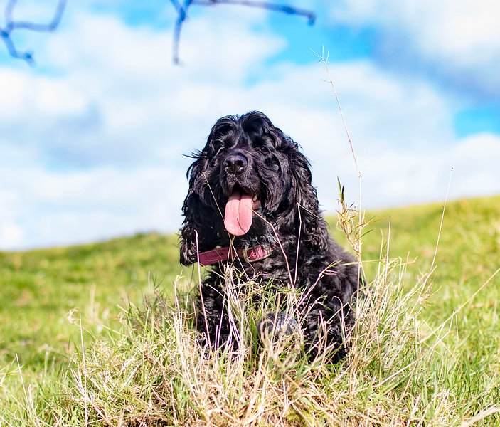 Ebony - our Cocker Spaniel   - will be greeting you 'socially distancing'