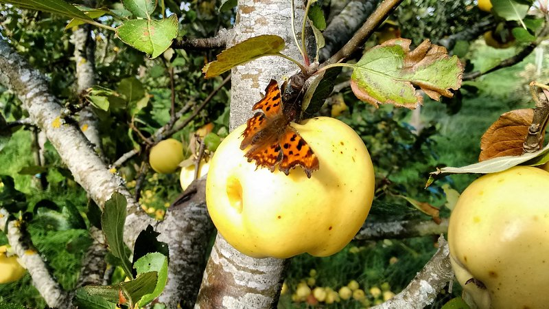 Comma butterfly in the orchard.