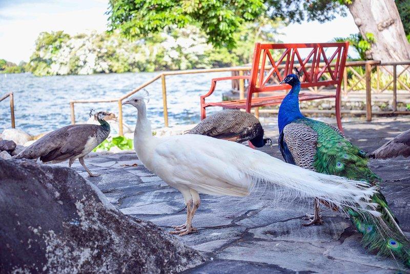 ¡Si tienes la oportunidad, podrás ver a estos pavos reales levantarse y agitar sus plumas!