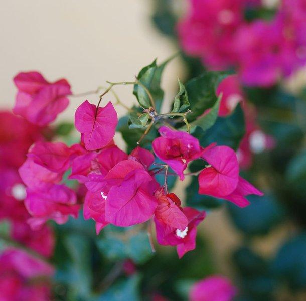 Des fleurs de Bourganvillia ornent la maison ouest de Riebeek