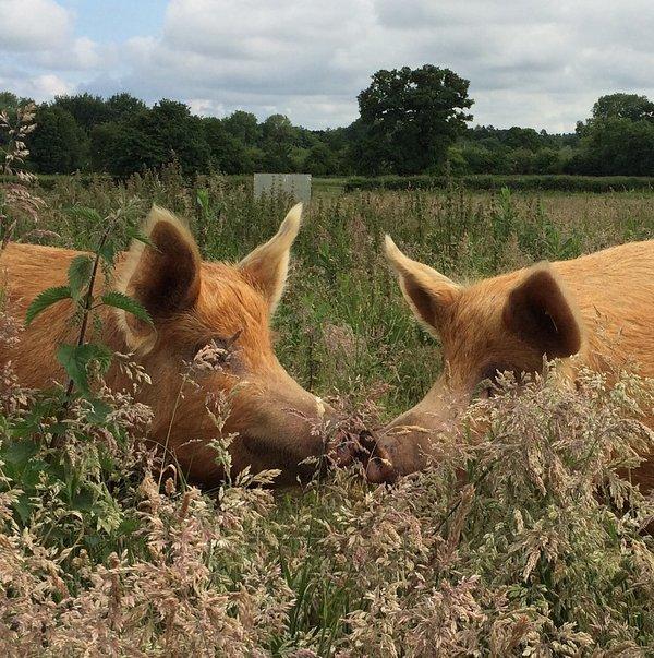 Free range Tamworth rare breed pigs - visitors welcome