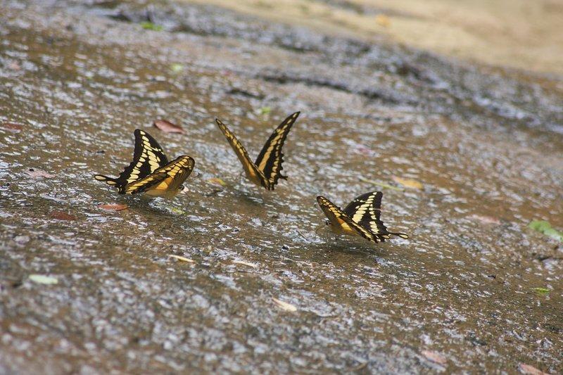 Mariposas que se sientan en la roca de fondo.