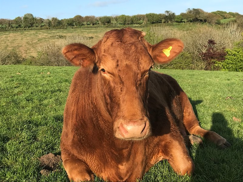 Buttercup la vaca ganadora de premios