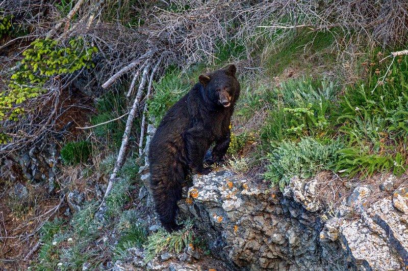 Surveillez les ours et les autres animaux sauvages de la région!