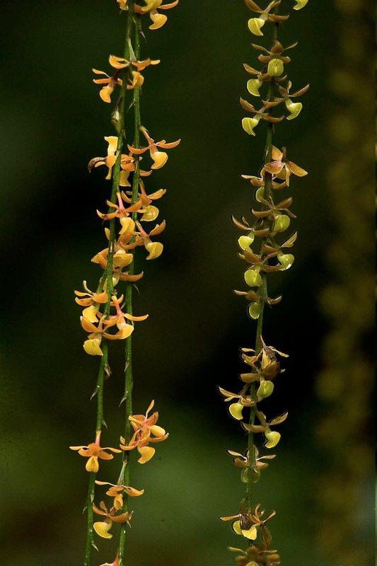 Epidendrum laucheanum - orchidea epifita