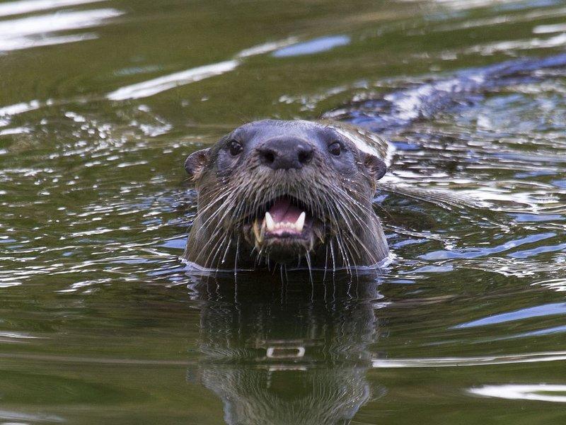 Uno de nuestros vecinos - familia de 5 nutrias vive río abajo - a veces visitan