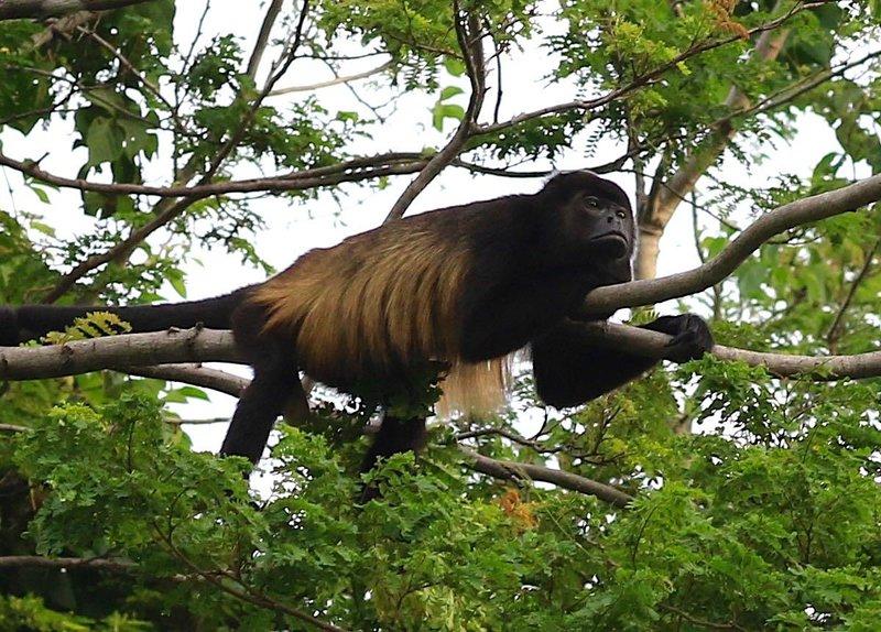 I nostri vicini, le scimmie urlatrici