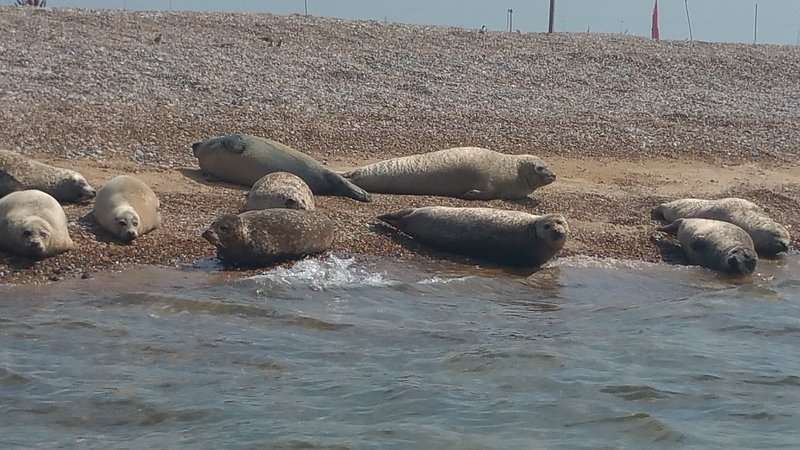 Seals at Blakeney. recommend the trip