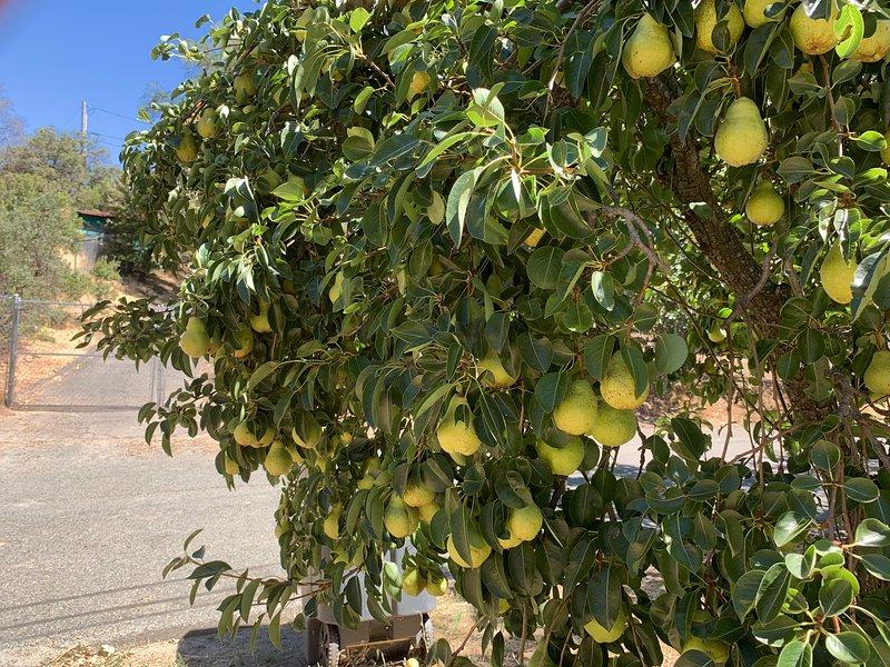 Cathleen's Bartlett Pear Tree is Ready for Harvet.
