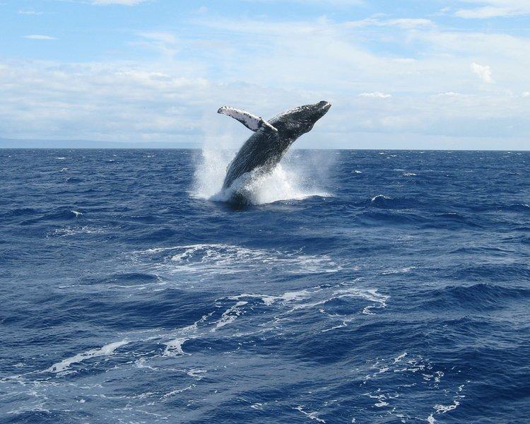 A Humpback whale breeching.