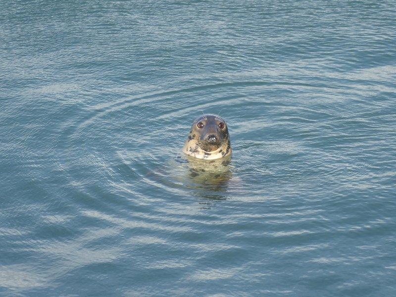 La côte du Pembrokeshire est un endroit idéal pour observer les phoques.