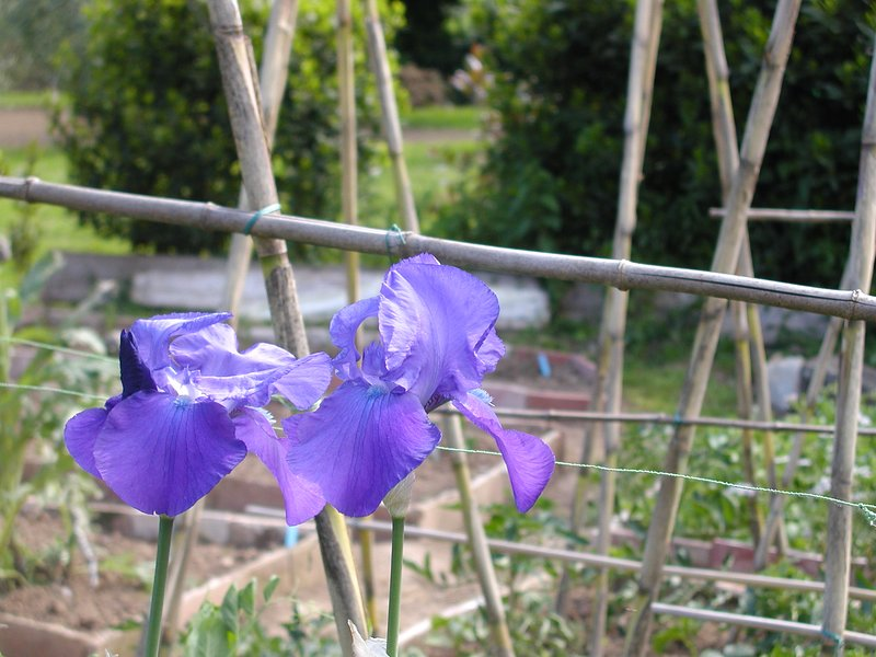 April and May are 'Iris' months here in Tuscany