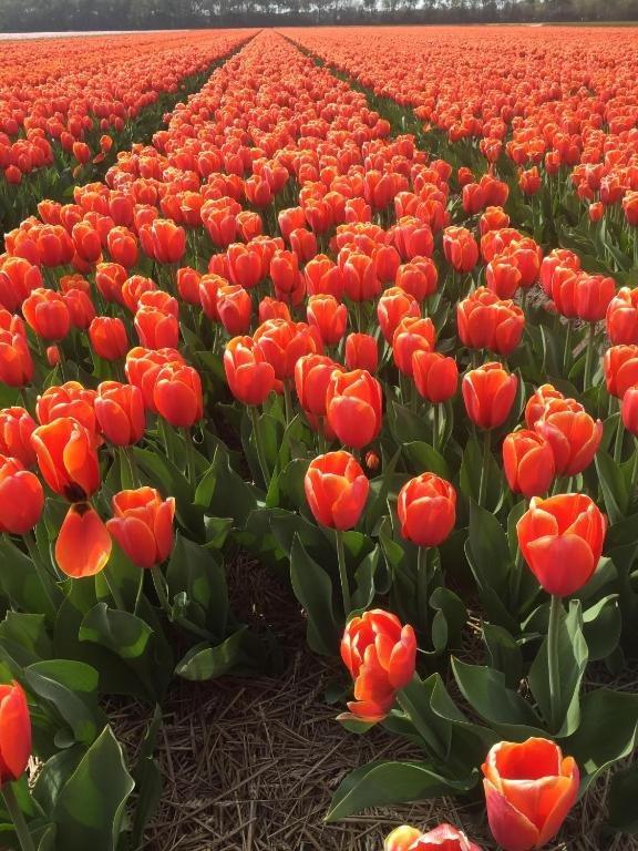famous Tulip garden