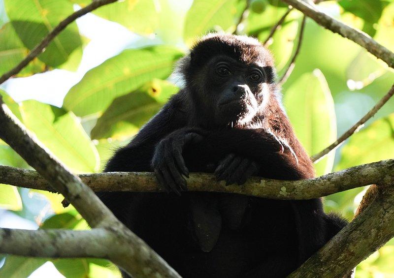 Howler monkey in nearby trees