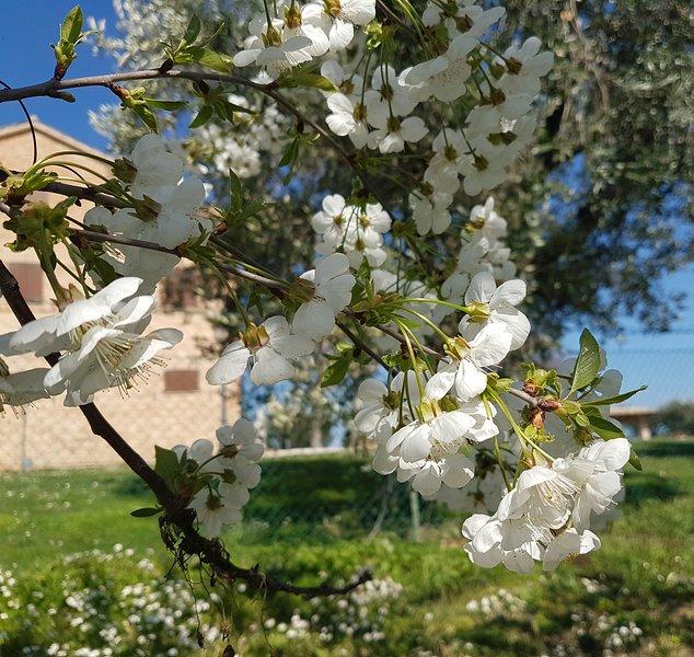 Cerezos en flor de primavera
