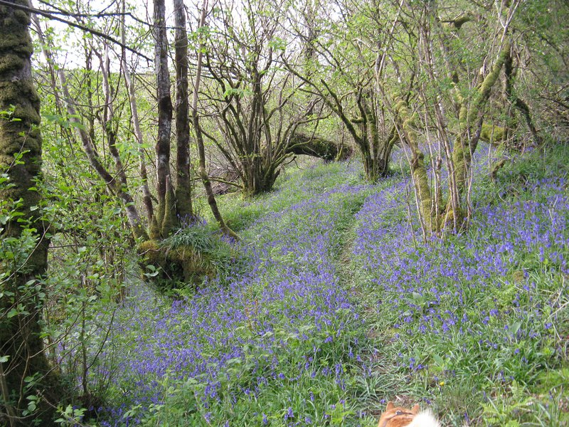Bluebells along the riverside path near Keeper's Cottage - a favourite for dog walkers