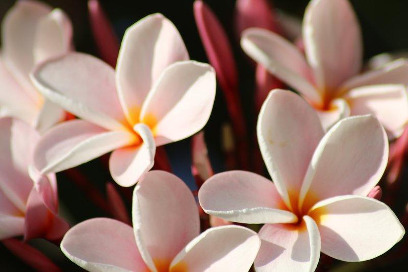 Frangipani hermosa o también llamada Plumeria