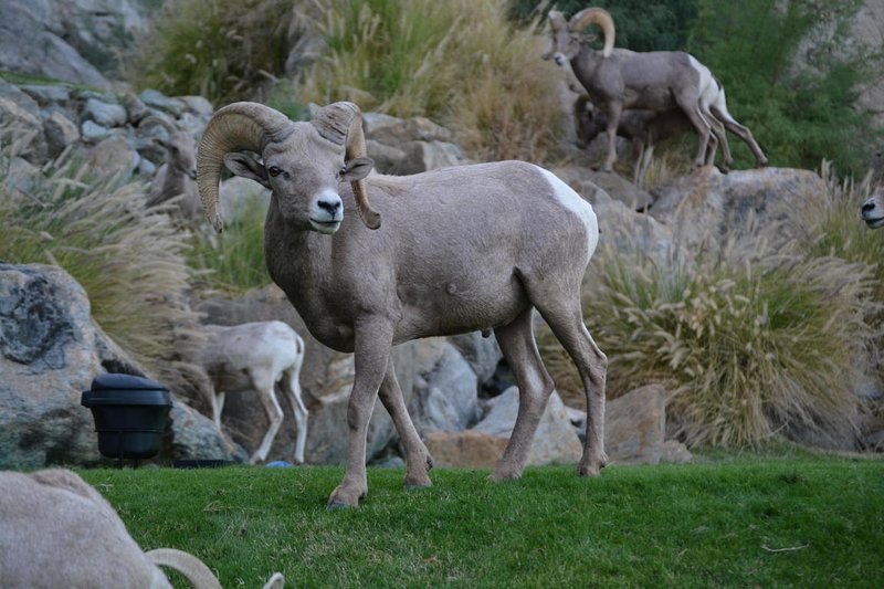 Bighorn sheep! Keep your eyes open for them!