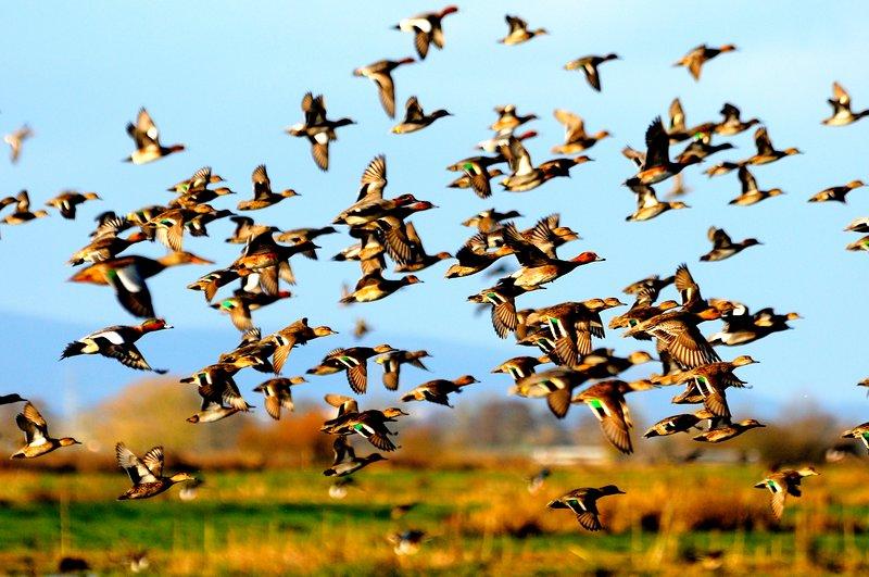 Wigeon y Teal en vuelo en Grey Lake en los niveles de Somerset