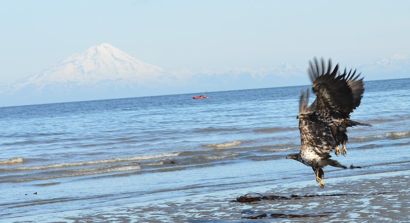 Mt. Iliamna, Kayak & Eagles some of what you will view at Whiskey Point Cabins & RV Park