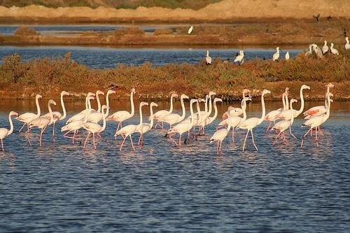 Flamingo Micration