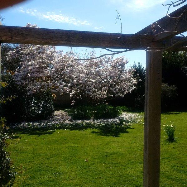 Nos magnifiques magnolias en fleurs