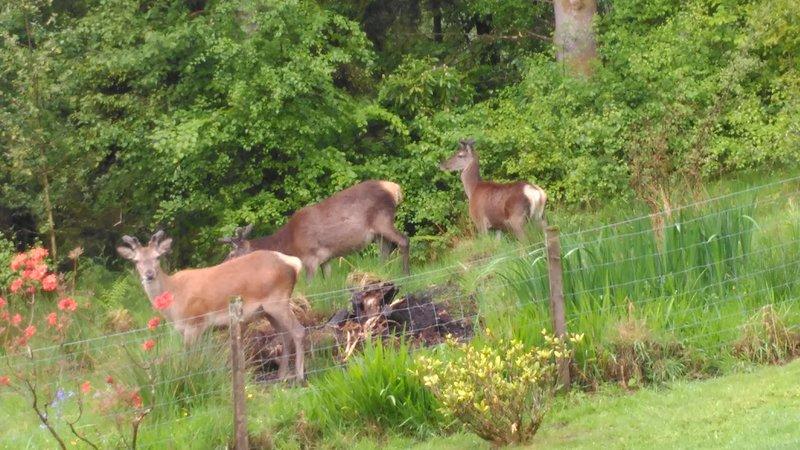 Cervi al pascolo appena fuori dal giardino